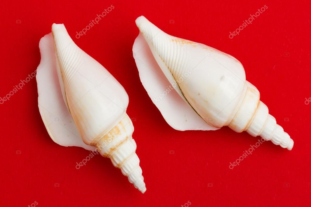 Two brown white seashells isolated on a red background — Stock Photo #12501324