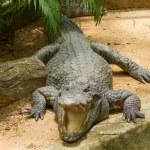 Crocodile resting in the sun — Stock Photo