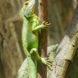 Iguana in a tree at a zoo in Vietnam — Stock Photo