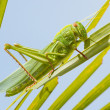 Large grasshopper, eating grass — Stock Photo