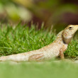 Stock Photo: Close up of a lizard