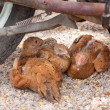 Foto Stock: Brown chickens resting underneath motorcycle