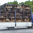 Stock Photo: HUÉ, VIETNAM - AUG 4: Trailer filled with live dogs destined fo