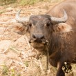 Royalty-Free Stock Photo: Curious adult water buffalo closeup