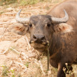 Curious adult water buffalo closeup — Stock Photo