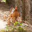 Adult hen and her newly hatched chickens — Stock Photo