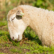 White sheep enjoying the sun — Stock Photo