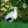 Stork in its natural habitat — Stock Photo #14005999