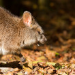Close-up of a yawning parma wallaby — Stock Photo #14006004