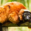 Red-bellied Lemur (Eulemur rubriventer) — Stock Photo #14006014