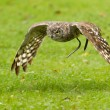 African Eagle Owl flying over a green field — Stock Photo