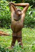 Orangutan (Pongo pygmaeus) in Saigon (Vietnam) — Stock Photo