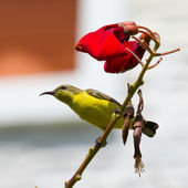 Olive Backed Sunbird - Female — Stock Photo