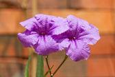 Dos flores de color púrpura florece — Foto de Stock