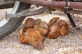 Brown chickens resting underneath a motorcycle — Stockfoto
