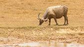 Large water buffalo grazing — Stock Photo
