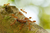 Ants in a tree carrying a death bug — Stock Photo
