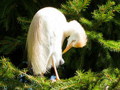 Bubulcus ibis, cattle egret, in a tree — Stock Photo