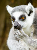 Ring-tailed lemur (Lemur catta) cleaning it's claw — Stock Photo