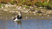 Lapwing taking a bath in a lake — Foto Stock