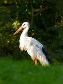 Stork in its natural habitat — Stock Photo