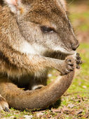 Parma wallaby is cleaning it's tail — Stock Photo