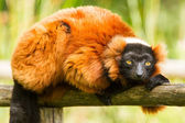 Red-bellied Lemur (Eulemur rubriventer) — Стоковое фото