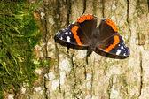 Red Admiral Butterfly - Vanessa atalanta — Stock Photo