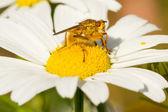 Small fly on an ox eye daisy — Stock Photo