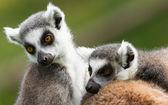 Two ring-tailed lemurs (Lemur catta) — Stock Photo