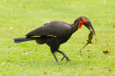 Southern Ground hornbill (Bucorvus leadbeateri) — Stock Photo
