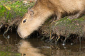 Capybara (Hydrochoerus hydrochaeris) drinking — Stock Photo