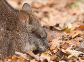 Resting parma wallaby — Stock Photo