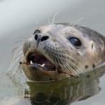 Close-up of a grey seal — Stock Photo