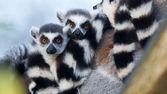Halka kuyruklu lemur (madagaskar maymunu catta) — Stok fotoğraf