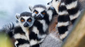 Ring-tailed lemur (Lemur catta) — Stock fotografie