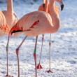Stock Photo: Flamingo in snow