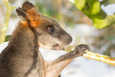 Swamp wallaby in the snow, eating — Stock Photo
