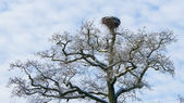 Old stork nest in a tree — Foto Stock