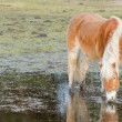 Horse standing in a pool after days of raining — Stock Photo
