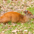 Stock Photo: Natal red duiker (Cephalophus natalensis)
