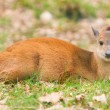 Natal red duiker (Cephalophus natalensis) - Stock Photo