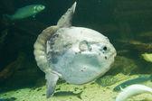 Ocean sunfish (Mola mola) in captivity — Stock Photo