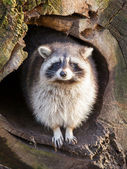 Adult raccoon at his nest — Stock Photo