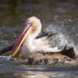 Pelican taking a refreshing — Stock Photo