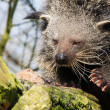 Close-up of a Binturong - Stock Photo