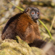 Red-bellied Lemur (Eulemur rubriventer) — Stock Photo #22207711