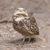 Burrowing owl (Athene cunicularia) in captivity — Stock Photo