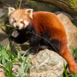 The Red Panda, Firefox or Lesser Panda — Stock Photo #22892876