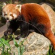 Royalty-Free Stock Photo: The Red Panda, Firefox or Lesser Panda